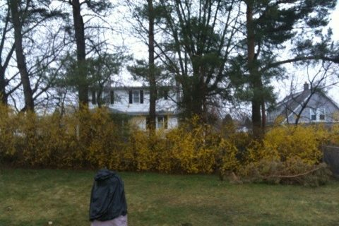 My forsythia are yellow today