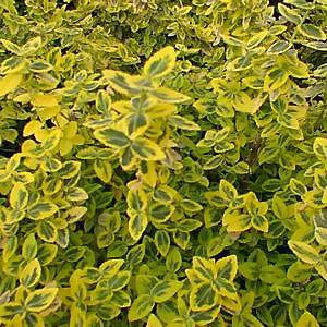 euonymus-emeraldgold