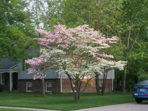 This dogwood is white and pink because it is a grafted tree and a root sucker from the rootstock (the white flowers) was not pruned out in a timely manner and has been allowed to grow up with the part of the tree from the scion (the pink flowers).