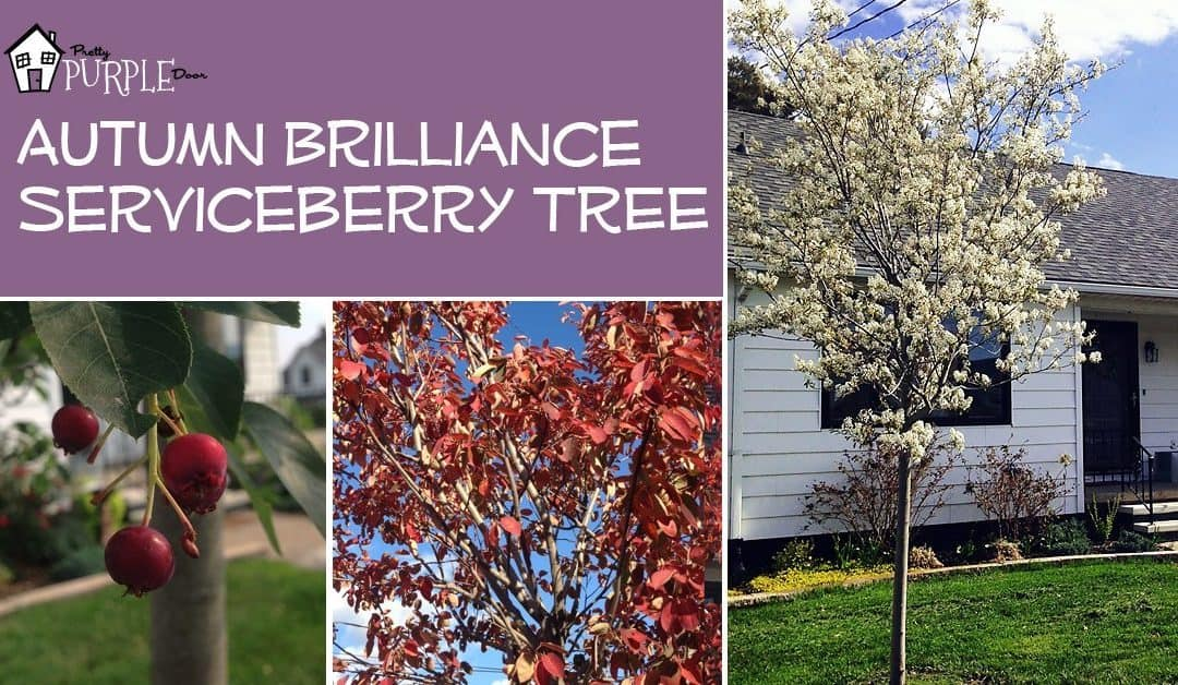 A Tree for All Seasons: The Autumn Brilliance Serviceberry