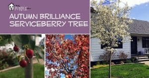 Autumn Brilliance Serviceberry, PrettyPurpleDoor.com