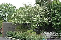 Cornus Stellar Pink Flowering Dogwood