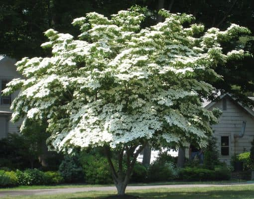Kousa dogwood front yard tree