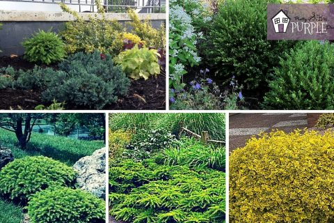 Perennial Garden Plan: Evergreen Shrubs Layer 2