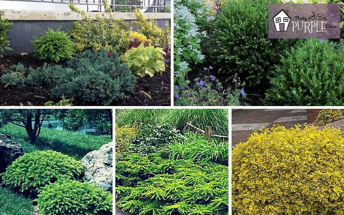 Perennial garden plan evergreen shrubs layer 2 pretty for Garden shrubs