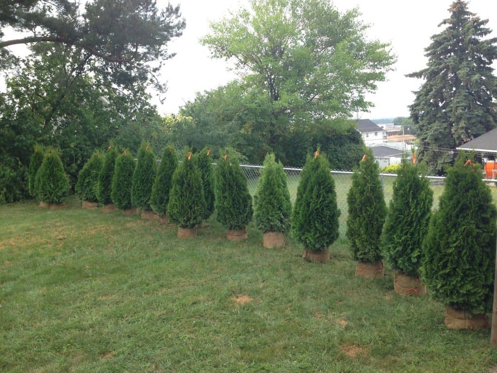 plant privacy trees