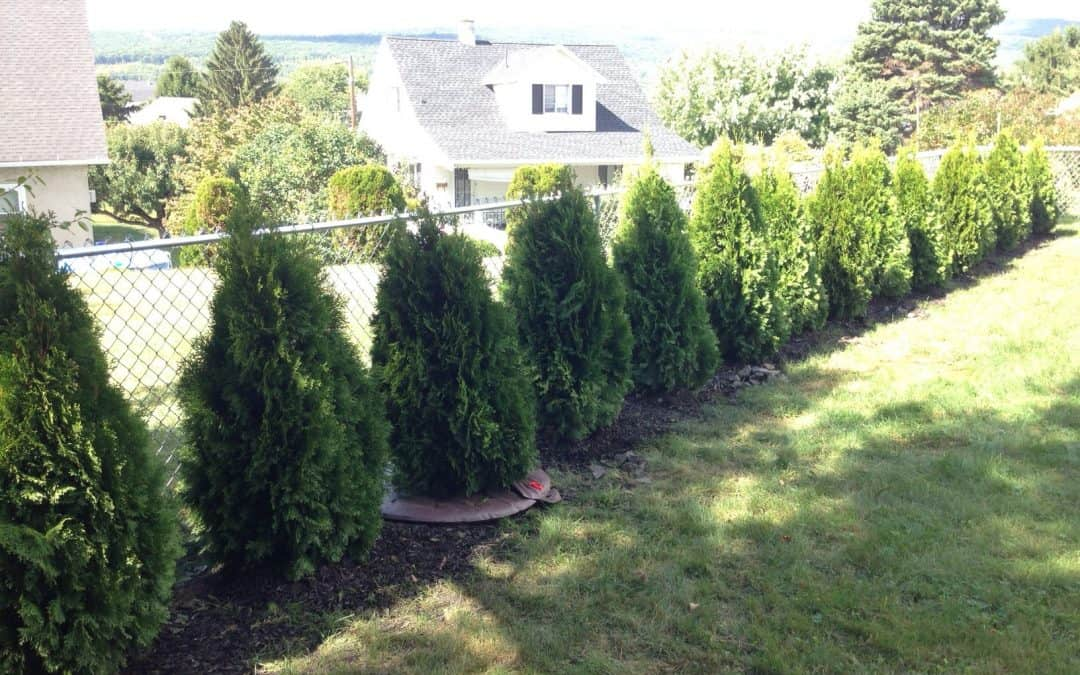 How to plant Emerald Green Arborvitae privacy trees (distance, etc)