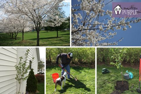 The Yoshino Cherry Blossom Tree Takes Center Stage