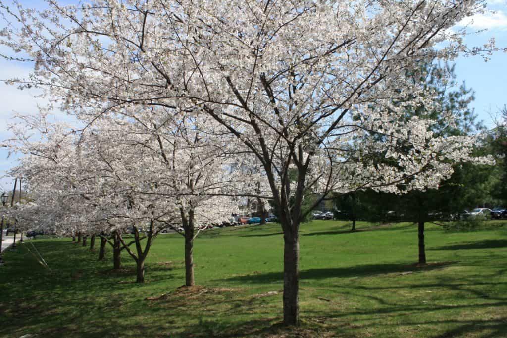 full frown Japanese Cherry Blossom Trees