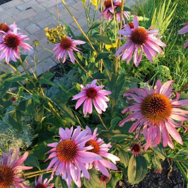 Growing seeds from your coneflowers is a great option to get more plants when you garden on a budget.
