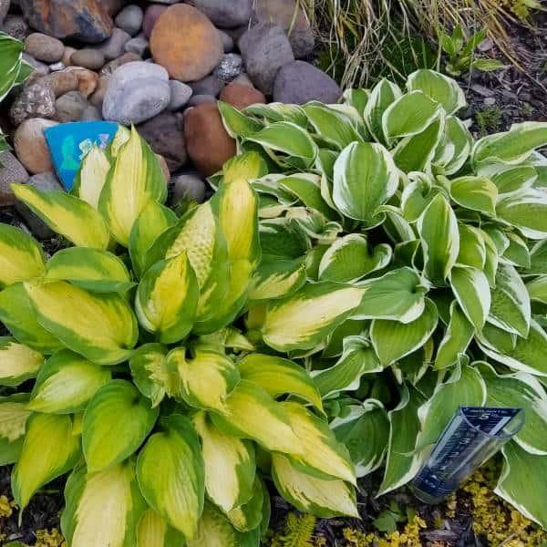 Hosta Perennial Plant for Shade