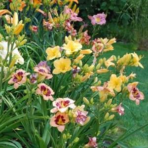 daylilies mix - great perennial flower