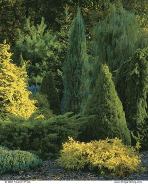 A mix of shapes, sizes, and colors enlivens these conifers planted as a screen.