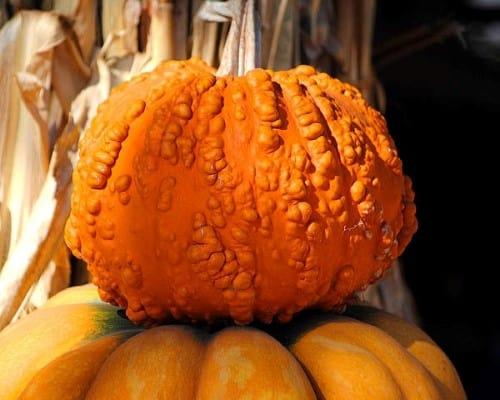 Warty pumpkin example