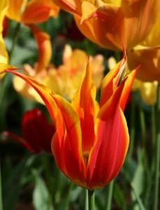 Red lily tulip with yellow rim