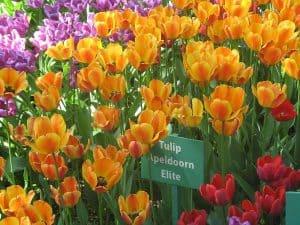 Tulip festival 2019 on Yelagin Island Apeldoorn Elite