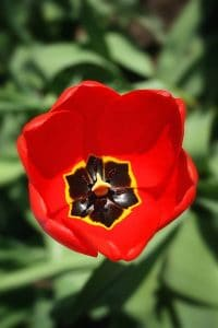 Red tulip shot from above looking inside at black center