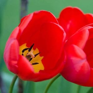 Red Tulips with yellow Centers