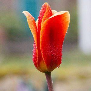 Single Red Emperor Madam Lefeber Tulip with Dew Drops