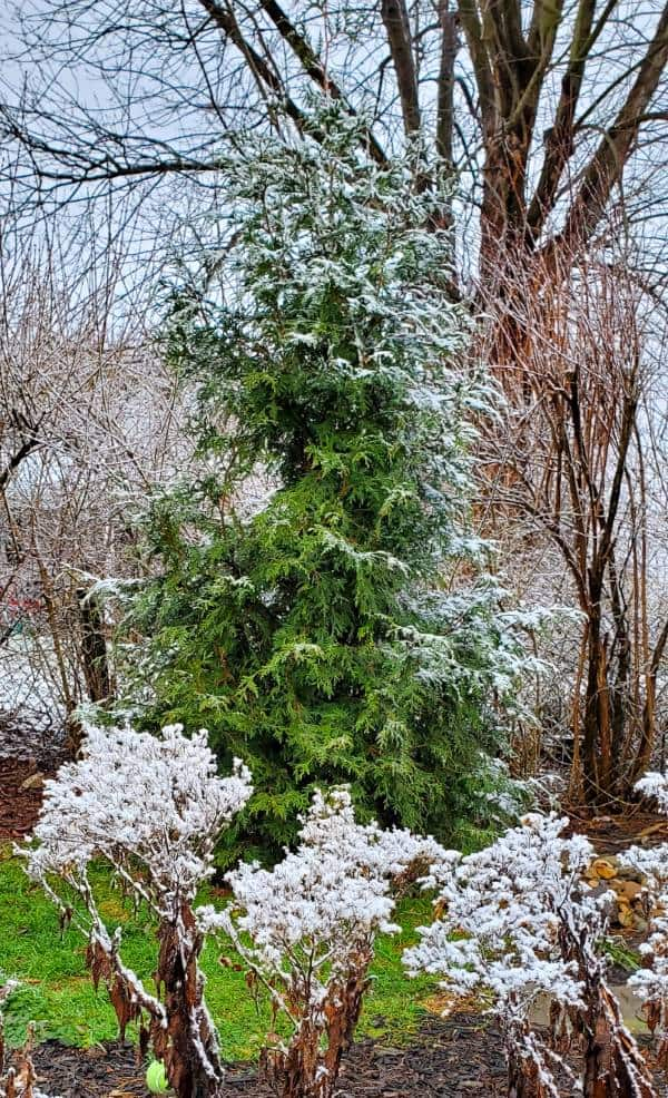 Single Green Giant Arborvitae privacy tree tipped with snow.