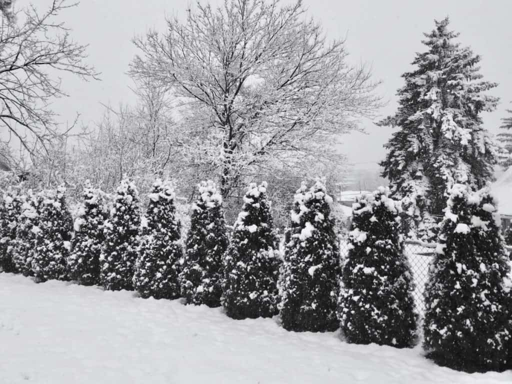 Emerald green arborvitae in the snow... about 4 years old
