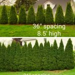"""Rows of emerald green arborvitae at 36"""" and 42"""" spacing shown at different heights."""
