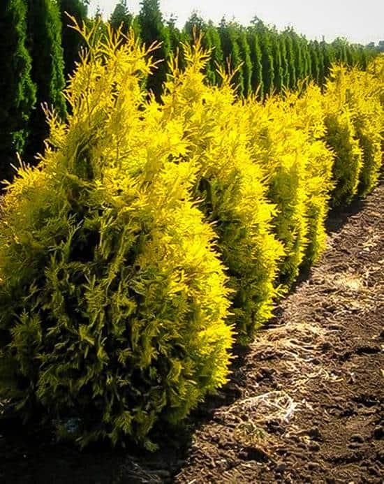 'Sunkist' Arborvitae (Thuja occidentalis 'Sunkist')