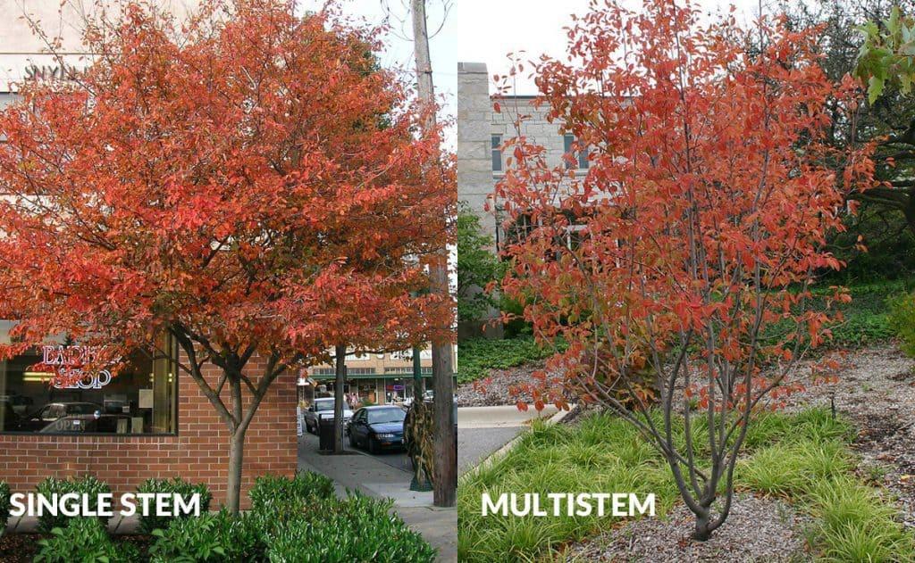 autumn brilliance serviceberry single stem and multi stem varieties