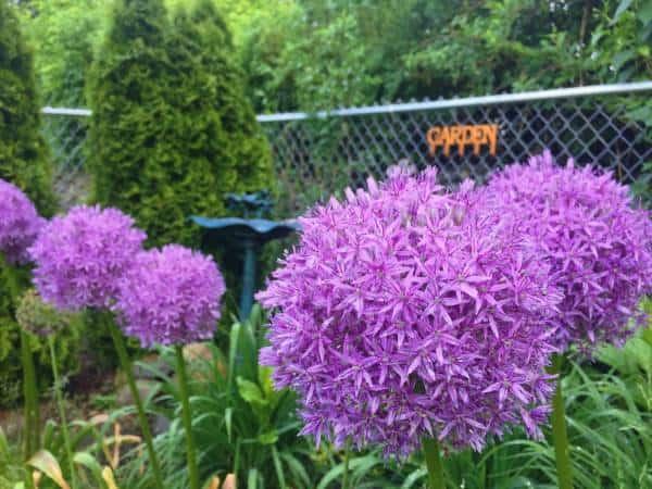 4 Large Allium round purple flowers along a fence