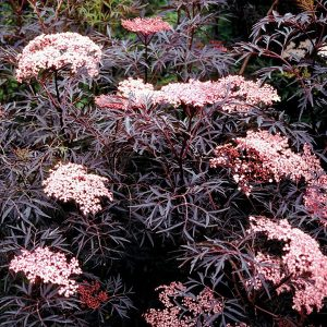 black lace elderberry has purple foliage pink blooms and berries
