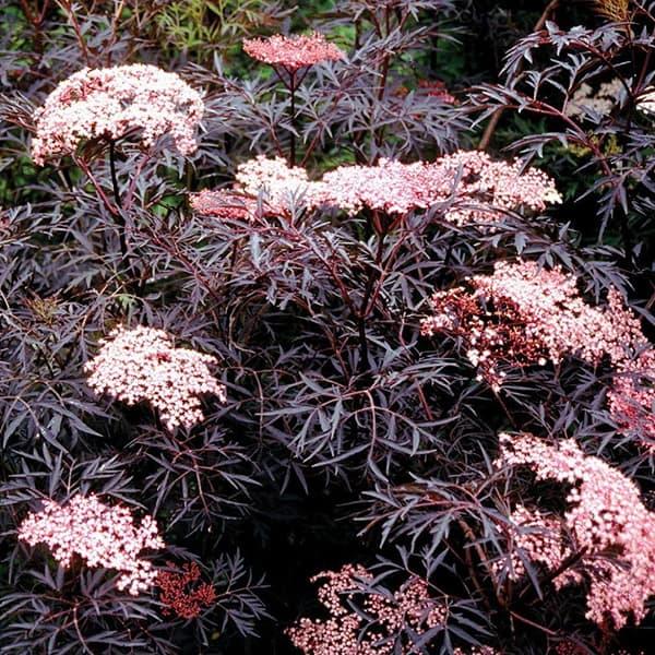 The black beauty elderberry has dark maroon foliage