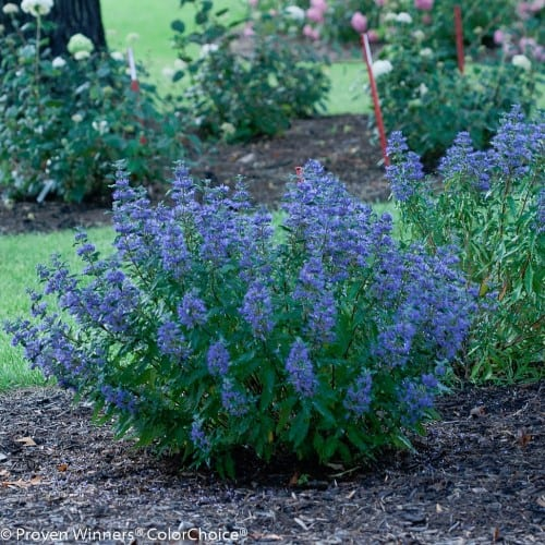 perennial shrub