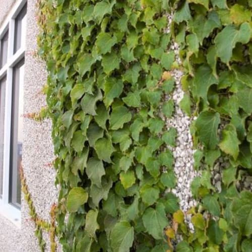 Boston Ivy Vine