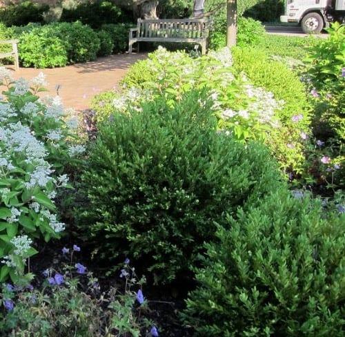 Boxwood 'Northern Charm' Evergreen Shrub