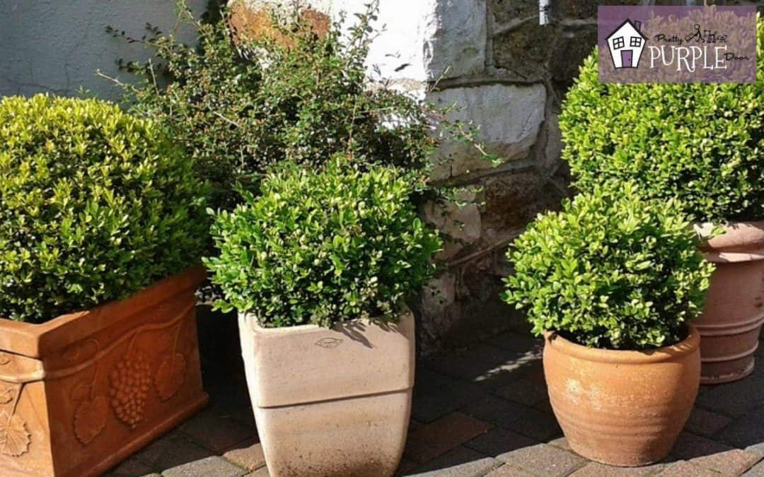 Boxwood growth rate by variety