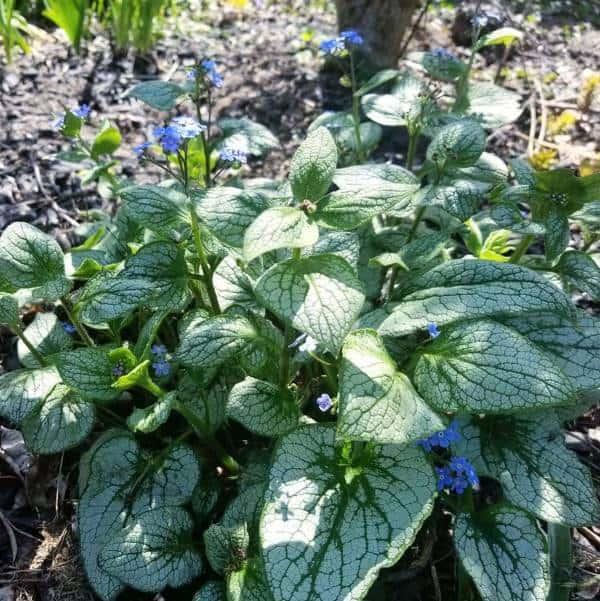 Silver Heart Siberian Bugloss Shade Plant in Garden