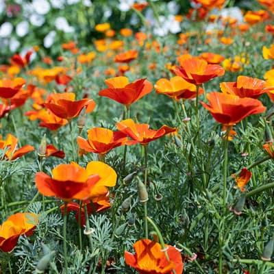 Califonia poppy 'Mikado' (Eschscholzia californica)