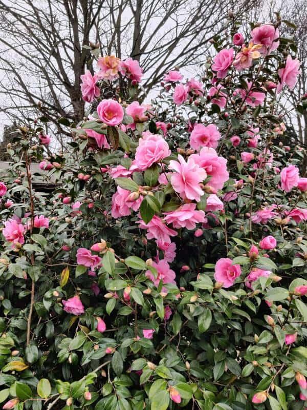 Pink Bonanza Camellia Shrub in Bloom