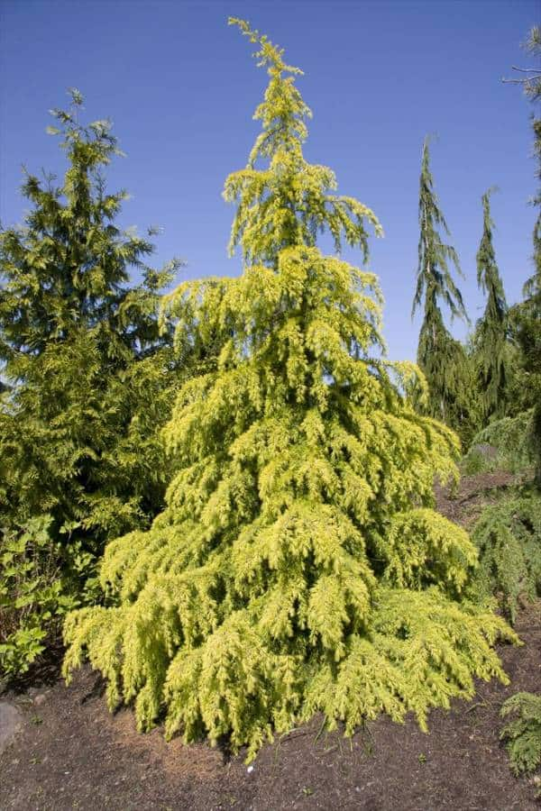 Golden Horizon cedar, a golden yellow pyramidal shaped evergreen tree.
