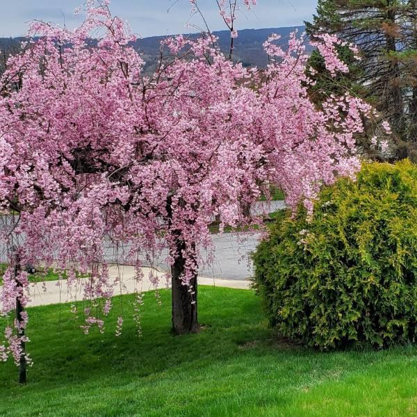 Pink weeping flowering cherry tree