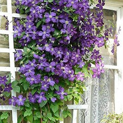 CLEMATIS- beautiful and non-aggressive climbing vines