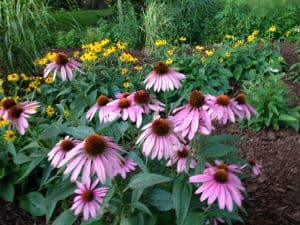 conflowers and black eyed susans