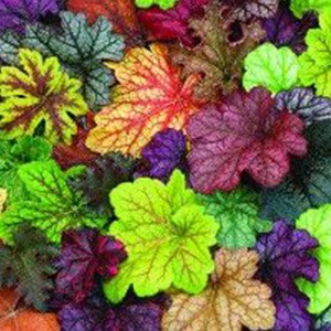 Coral bells come in a variety of colors so you're sure to find the right one for your shade garden!