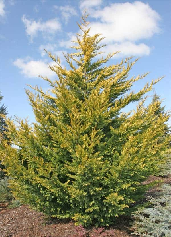 Gold Rider golden yellow-green cypress privacy tree row