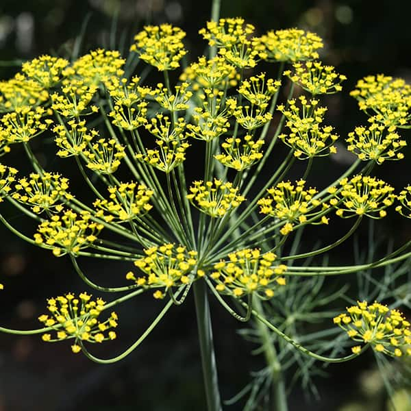 Dill (anethum graveolens)