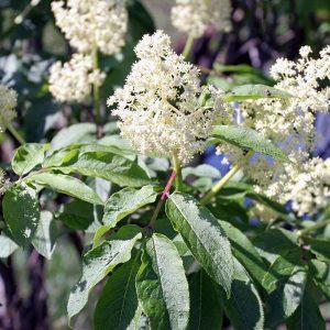 American Elderberry (Sambucus canadensis)
