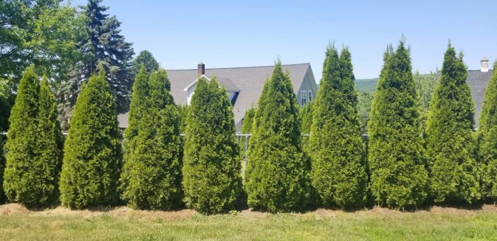 Row of emerald green arborvitae trees