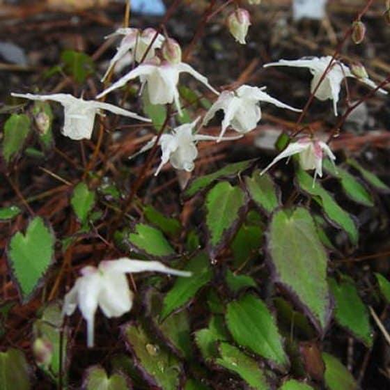 Fairy Wing 'After Midnight' (Barrenwort) Epimedium x youngianum