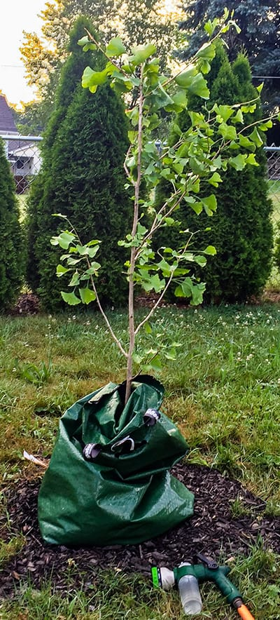 Newly planted Ginkgo Autumn Gold Tree