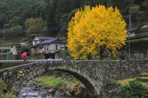 Ginkgo Autumn Gold: Best Kept Secrets Revealed!